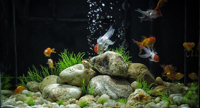 Aquarium poisson rouge