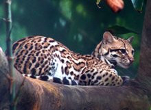00DC000004063982-photo-oneiric-ocelot.jpg