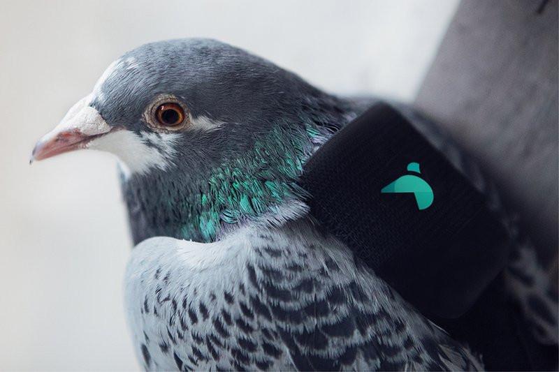 0320000008382762-photo-pigeon-air-patrol.jpg
