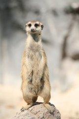 000000f003250964-photo-suricate.jpg