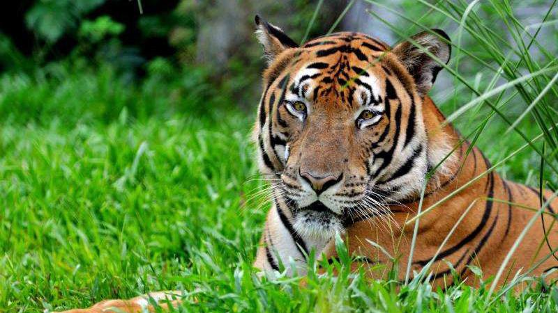 Tigre de Chine méridionale espace