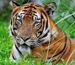 De l'ADN d'une espèce de tigre en voie d'extinction propulsé dans l'espace en