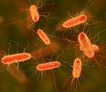 Escherichia coli bientôt source d'hydrocarbure ?