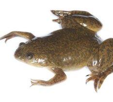 Des chercheurs utilisent des cellules souches de grenouille pour construire un