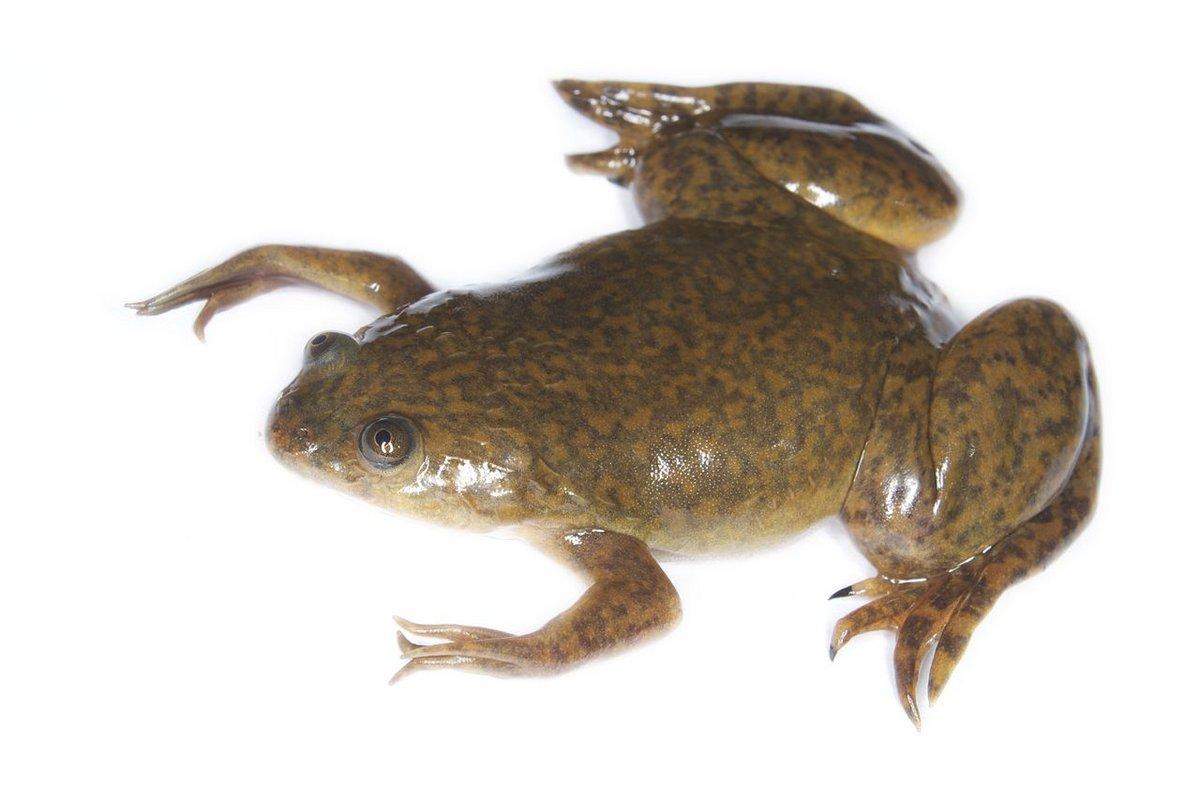 Xenobot grenouille Xenopus laevis