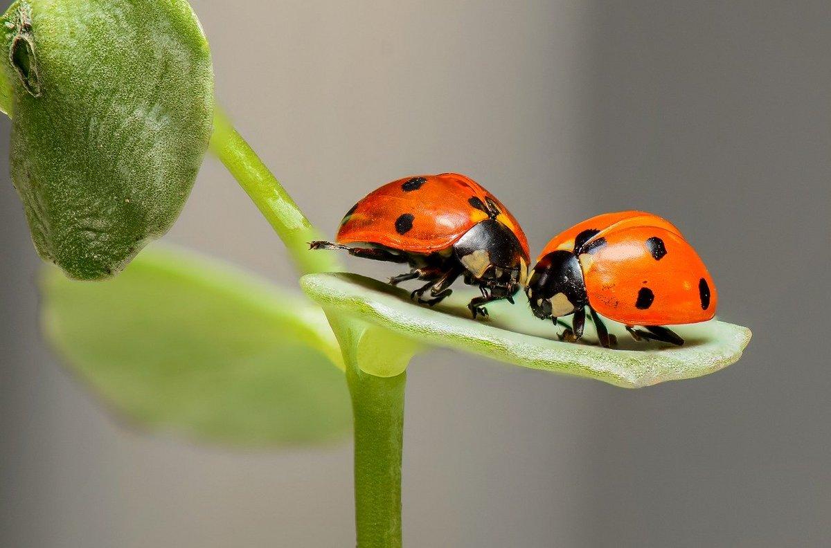 Insectes Coccinelles