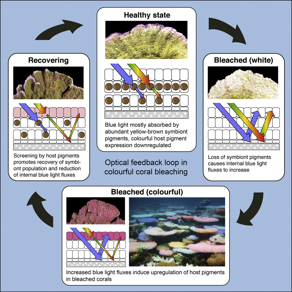 Processus de rétablissement des coraux © University of Southampton