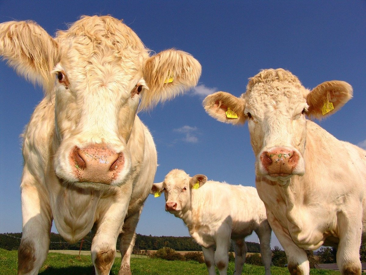 vache © Pixabay