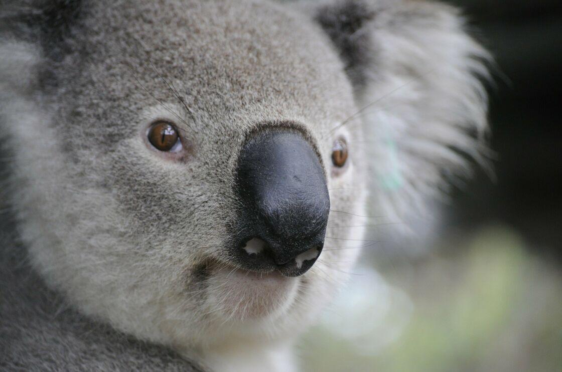 Koala © © Pixabay