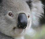 La reconnaissance faciale envisagée pour sauver les koalas de l'extinction