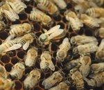 BeeGuard, des ruches connectées au service du suivi de la santé des abeilles (Vidéo)