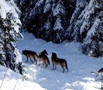 Davantage d'animaux sauvages : la solution pour réconcilier éleveurs et loups ?